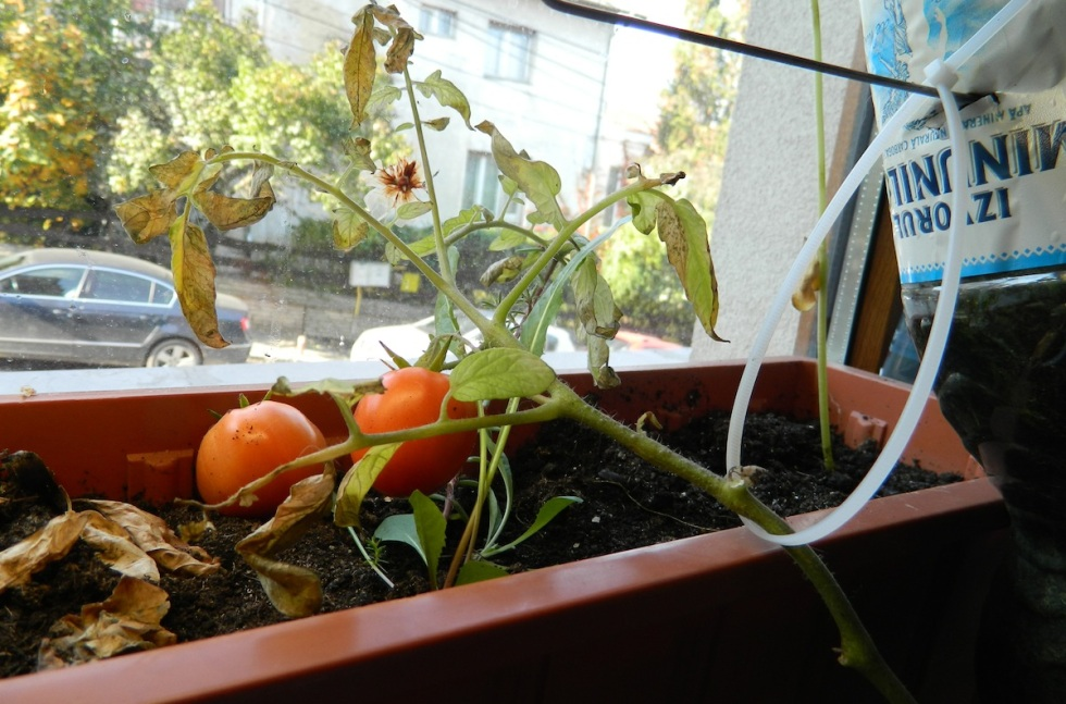 tomatoesinwindow