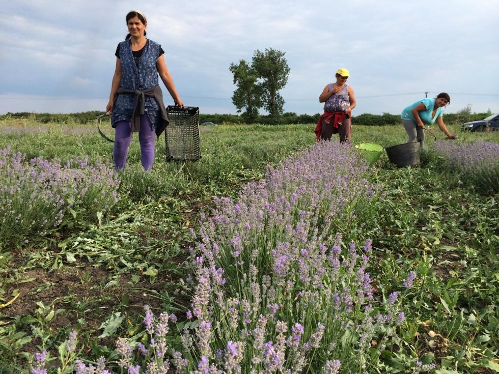 simina-lavender