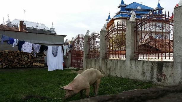 gypsy-house-pig-photo