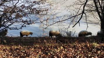 sheep-photo